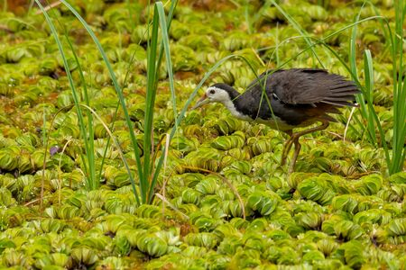 White-breasted Waterhen wading on a field of water lettuce, looking into a distance