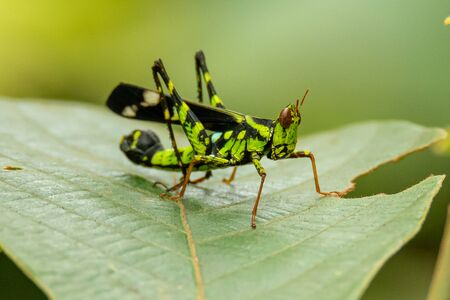 Beautiful greenish  Monkey Grasshopper (Erianthus versicolor)  perching on a leaf
