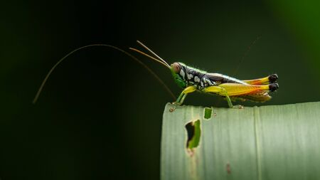 Yellow Red-legged Rice Grasshopper perching on grass leaf Reklamní fotografie