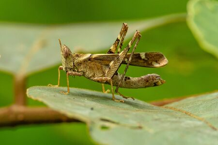 Brown Monkey Grasshopper perching on a leaf