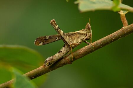 Brown Monkey Grasshopper perching on a perch Reklamní fotografie