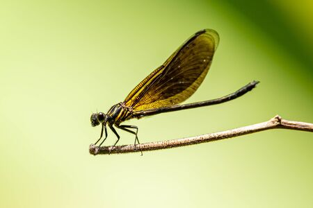 Euphaea Ochracea damselfly perching on a perch