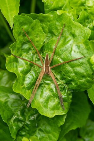 Nursery Web Spider perching on a green leaf