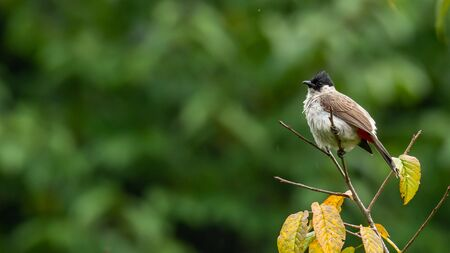 Sooty-headed Bulbul perching on wild himalayan cherry perch and puffing up plumage