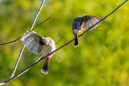 Sooty-headed Bulbuls preening their wings on a perch under evening sun light