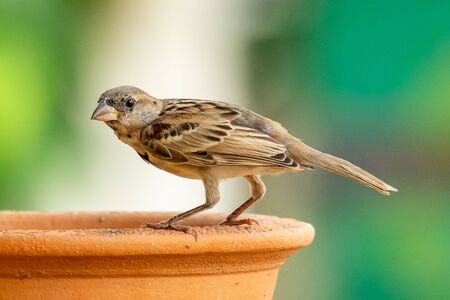 Female Russet Sparrow perching on a clay bowl, looking into a distance