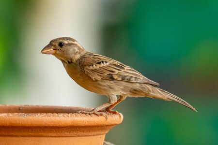 Female Russet Sparrow perching on a clay bowl with a grain of rice in her beak