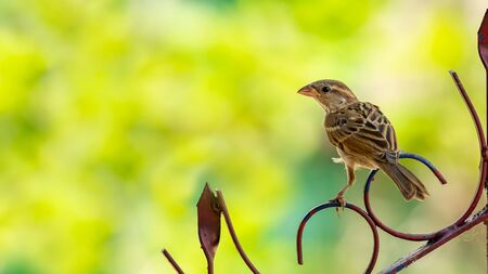 Female Russet Sparrow perching on a fence, looking into a distance Reklamní fotografie