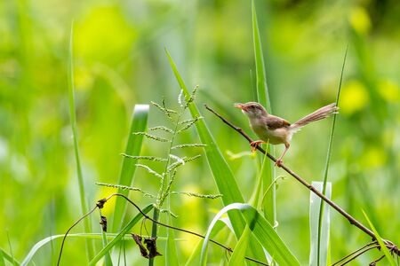 Rufescent Prinia perching on a perch looking into a distance