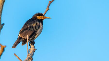 Asian Pied Starling perching on a perch looking into a distance with blue sky background 版權商用圖片