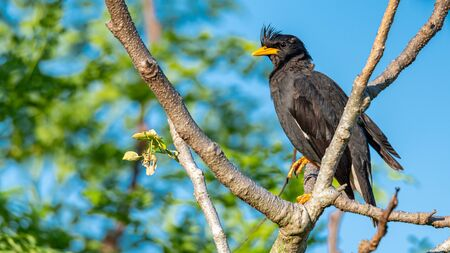White-vented Myna perching on a perch looking into a distance with blue sky background Imagens