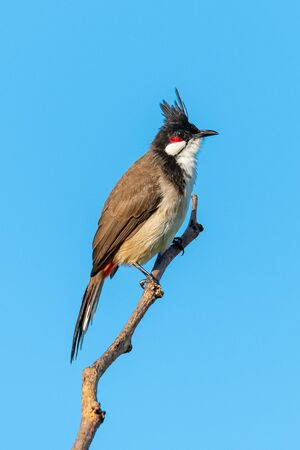 Red-whiskered bulbul perching on a perch looking into a distance with blue sky background