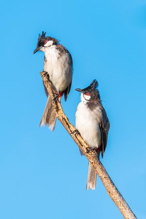 Two Red-whiskered bulbuls perching on a perch looking into a distance with blue sky background Imagens