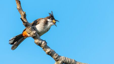 Red-whiskered bulbul perching on a perch with banyan fruit in its beak, blue sky background Imagens