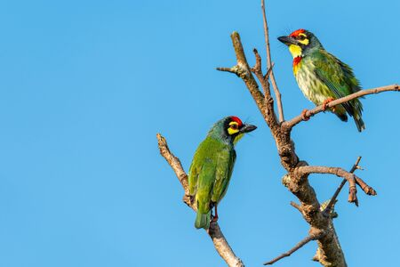Two Coppersmith barbets perching on a perch looking into a distance with blue sky in background