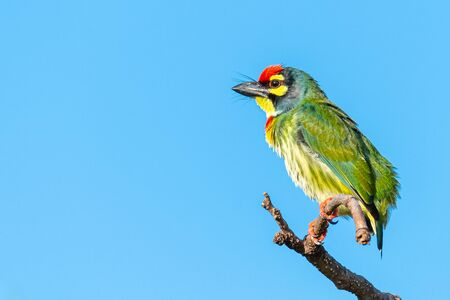 Coppersmith barbet perching on a perch looking into a distance with blue sky in background Imagens