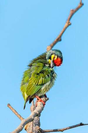 Coppersmith barbet perching on a perch preening its plumage with blue sky in background