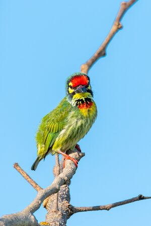 Coppersmith barbet perching on a perch looking straight with blue sky in background Imagens