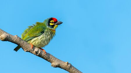 Coppersmith barbet perching on a perch puffing up its plumage with blue sky in background