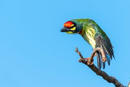 Coppersmith barbet perching on a perch stretching its wing with blue sky in background
