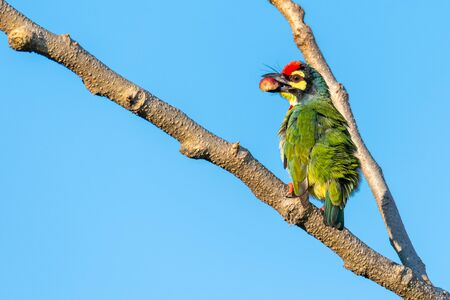 Coppersmith barbet perching on a perch with a banyan fruit in the beak, blue sky in background Imagens