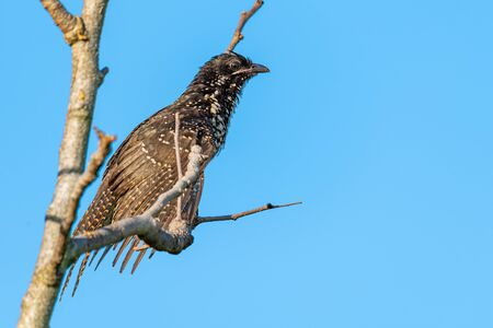 Female Asian Koel perching on a perch to sun·bathe with morning sunlight and blue sky background