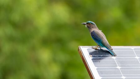 Indochinese Roller perching on solar cell panel looking into a distance