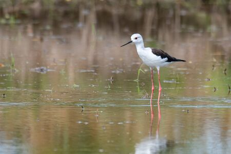 Black-winged Stilt wading and finding food from the coastal intertidal area