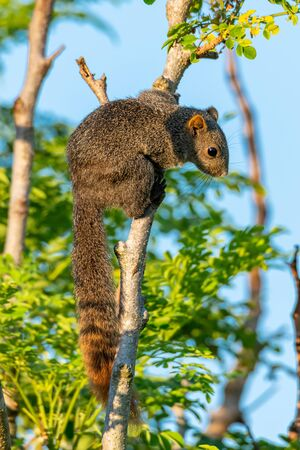 Thai common squirrel perching on a tree looking into a distance
