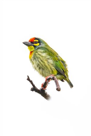 Coppersmith Barbet perching on a perch isolated on white background Imagens