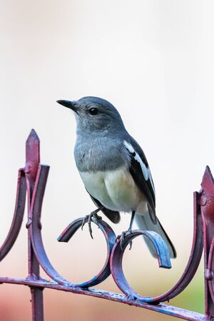Female Oriental Magpie Robin perching on a fence looking into a distance