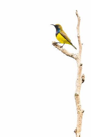 Male Olive-backed sunbird perching on a perch looking into a distance isolated on white background