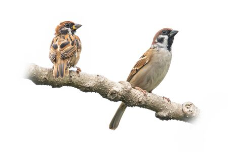 Adult and juvenile Male House Sparrows perching on a perch looking into a distance isolated on white background