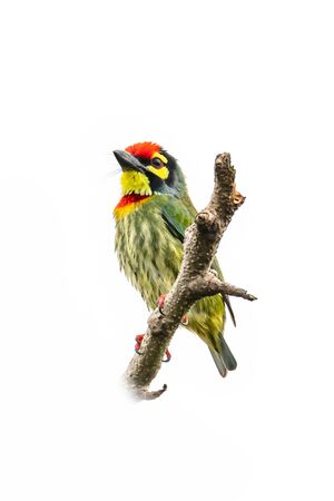 Coppersmith Barbet perching on a perch looking into a distance isolated on white background