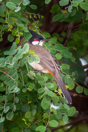 Red-whiskered bulbul perching on Phyllanthus reticulatus perch looking into a distance Reklamní fotografie