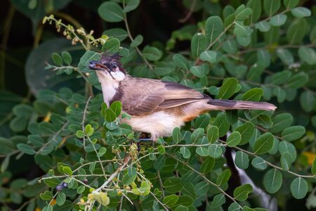 Red-whiskered bulbul feeding on Phyllanthus reticulatus fruit