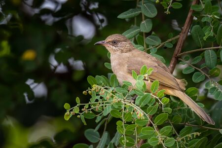 Streak-eared Bulbul perching on Phyllanthus reticulatus perch looking into a distance