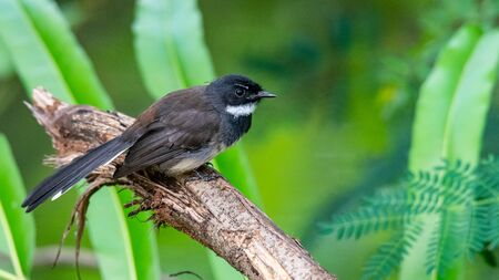 White-throated Fantail perching on perch with blur green leaves background