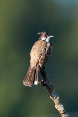 Red-whiskered bulbul perching on top of a perch isolated on dark green  background Imagens