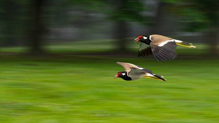 A pair of Red-Wattled Lapwing in flight with motion blur background