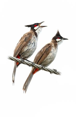 Two Red-whiskered bulbuls perching on twisted metal cable isolated on white background Imagens