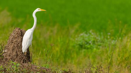 Great Egret isolated in paddy field looking into a distance