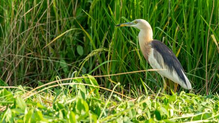 Javan Pond-Heron wading in paddy field looking into a distance Imagens