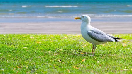 Lesser black-backed gull isolated on lawn near seaside