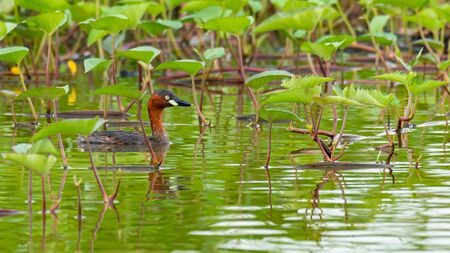 Adult Little Grebe resting in a bush of morning glory