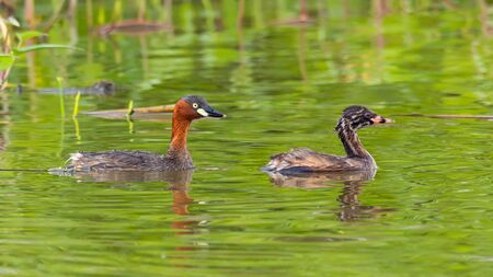 Adult and juvenile Little Grebes happily swimming in a pond Imagens