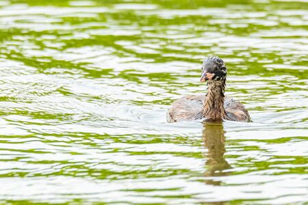 Juvenile Little Grebe happily swimming in a pond looking for small fresh water shrimp to feed on