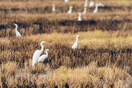 A group of Great Egrets isolated in burnt paddy field looking into a distance Reklamní fotografie