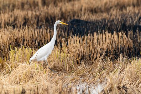 Great Egret isolated in burnt paddy field looking into a distance Reklamní fotografie
