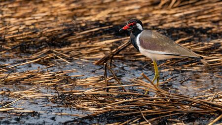 Red-Wattled Lapwing  wading on ashy mud of paddy field after harvest finding food to feed on